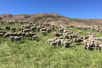 Ewes and lambs on Geordie Hill