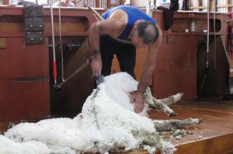 Geordie Hill Shearing the Ewes.