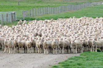 Young Merino Sheep hoggets on the move2. Tom and Rinah. Oct 08